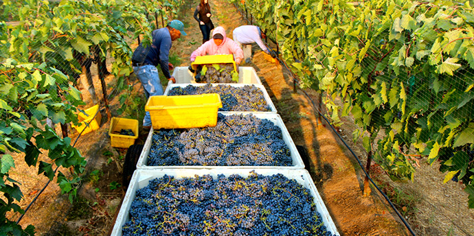 Our farm of Blueberries in Cauquenes begins its full production with 800 tonnes sent to three continents